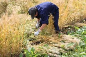 小麦刈り取り ① (800x533)