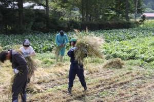 小麦刈り取り ② (800x533)
