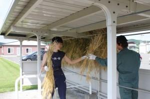 小麦刈り取り ③ (800x533)